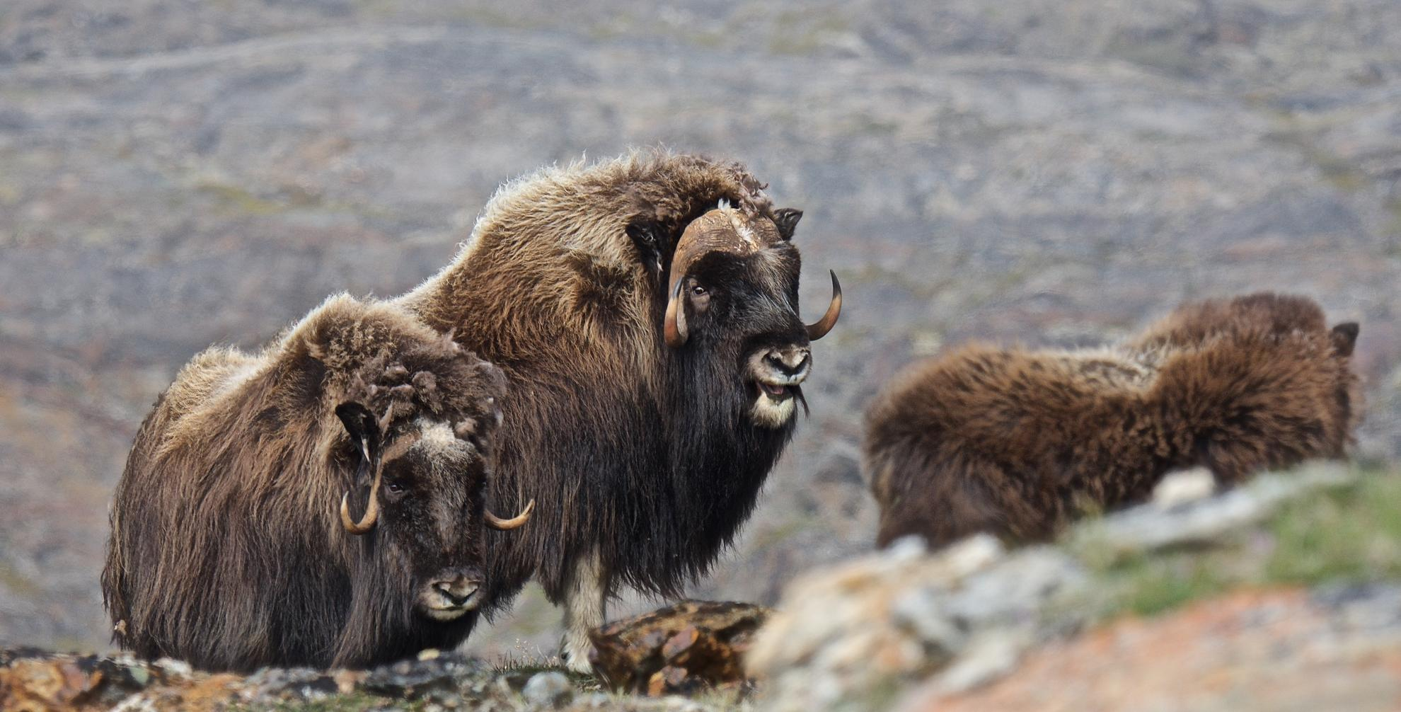 Muskoxen - Bull, Cow, Young © Dave Foreman