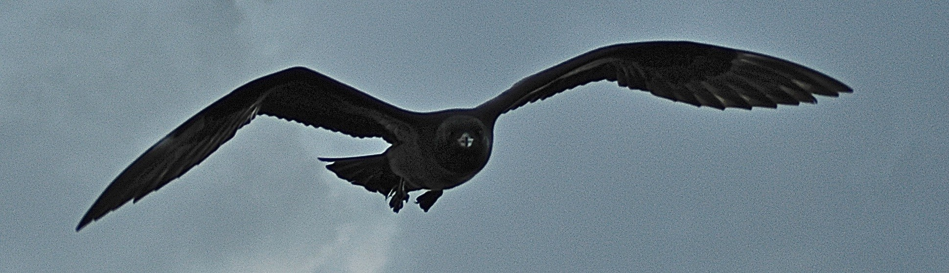 Pomarine jaeger, dark phase, attacking Dave © Dave Foreman