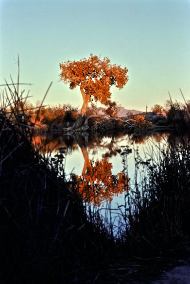 Quitobaquito Pond and Fremont Cottonwood at Dusk © Dave Foreman