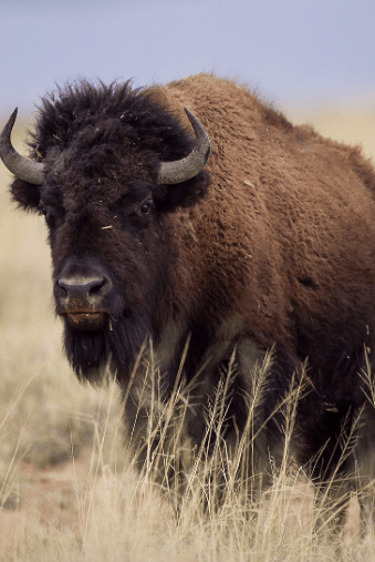 American Bison © Robin Silver