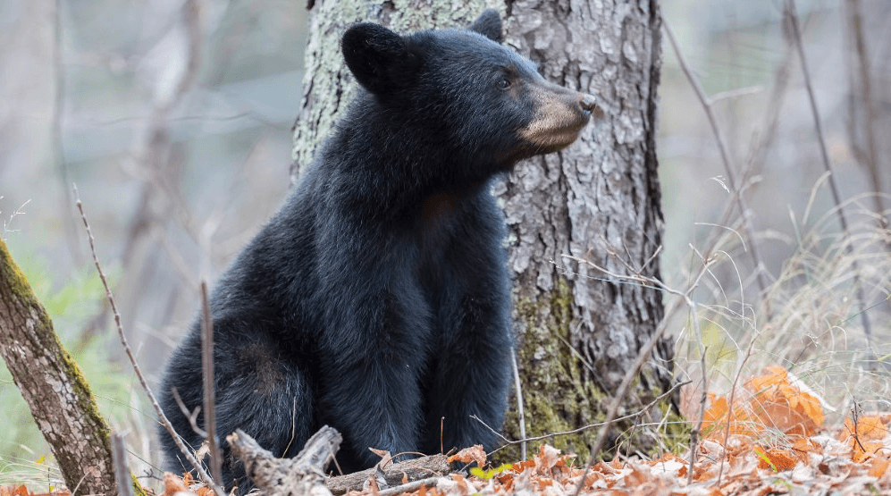 Q0l8663c American Black Bear (Ursus americanus), cub © Master Images