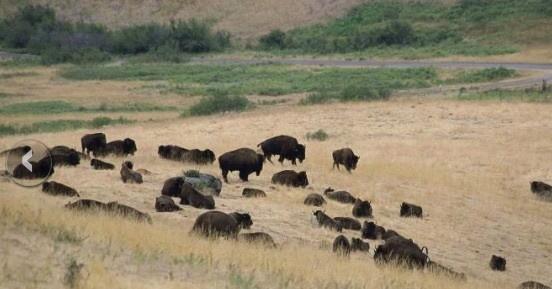 Bison, bison, Public Domain © Hillebrand Steve, USFS