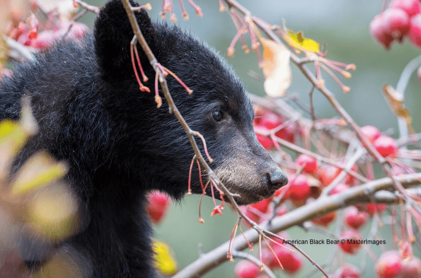 American Black Bear © MasterImages