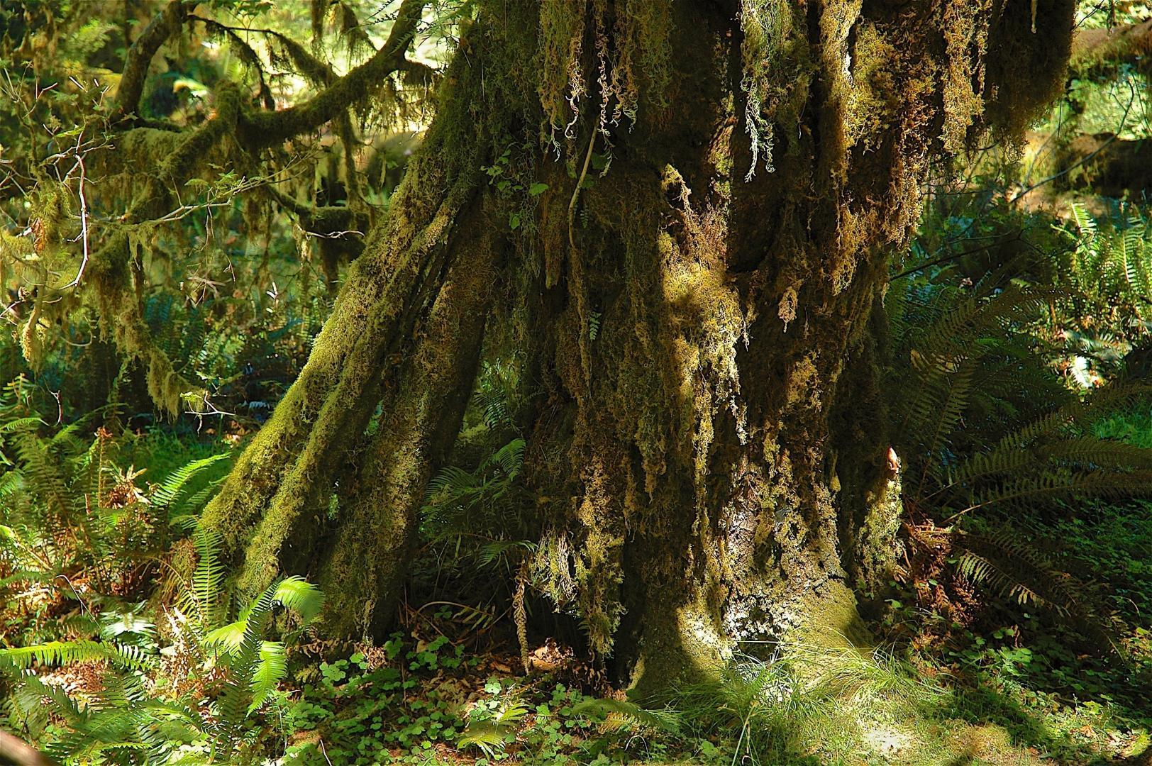 Ancient cedar, old-growth forest, Hoh Valley, Olympic NP © Dave Foreman