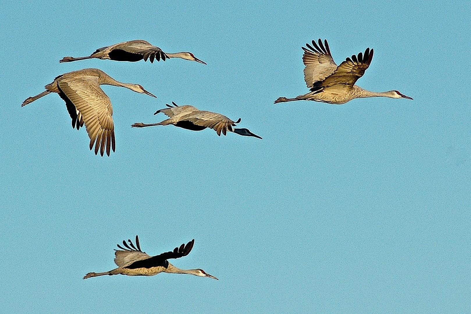 Sandhill Cranes, Bosque del Apache NWR © Dave Foreman