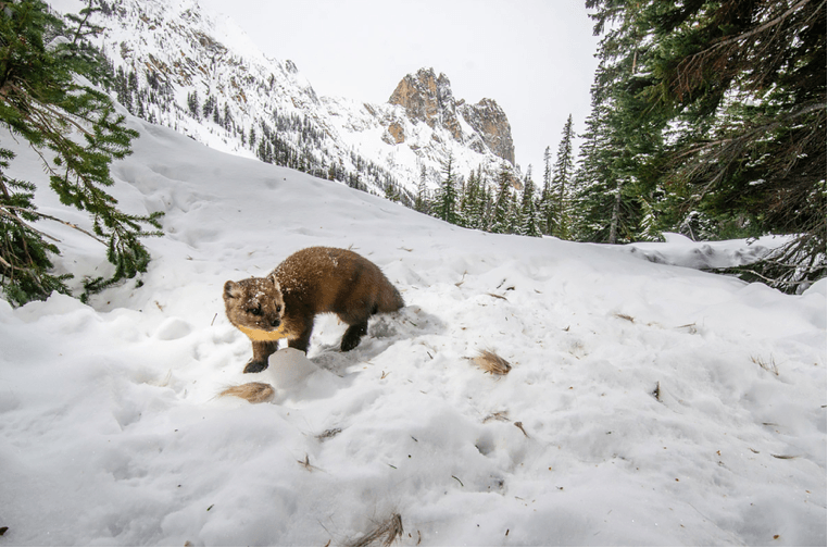 Martens once roamed the Olympic Peninsula. Today, researchers are trying to determine whether a viable population still exists there. Photo by David Moskowitz, Cascades Wolverine Project.