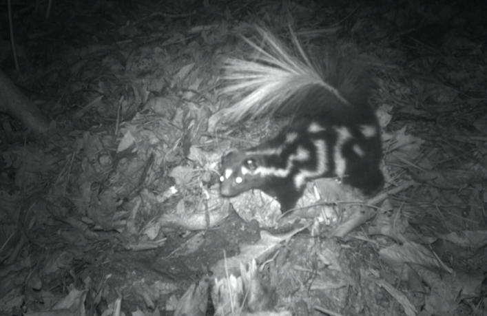Eastern Spotted Skunk © Christopher Wilson