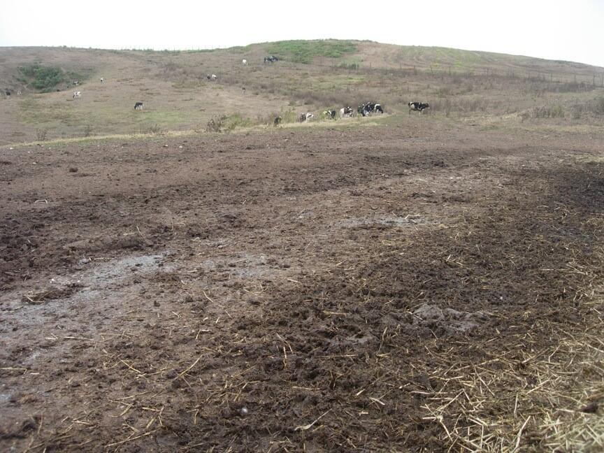 Cow pasture, cattle grazing on former Pt Reyes coastal prairie © Laura Cunningham