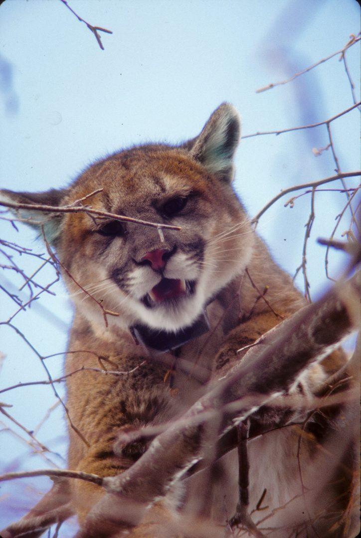 Cougar © John Laundre