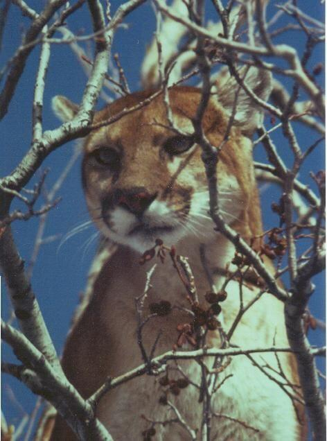 Adult Female Cougar © John Laundre