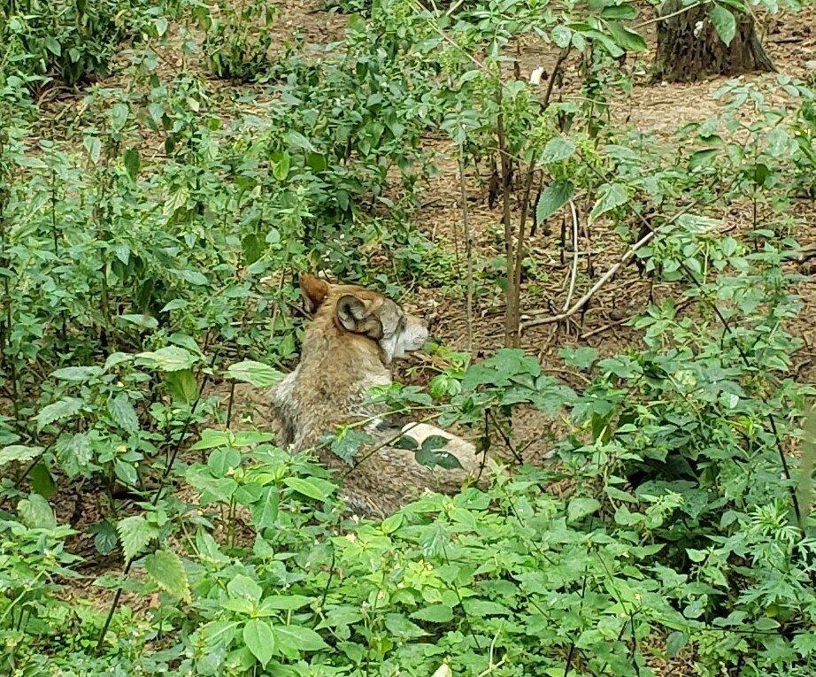Wolf in Perleberg Zoo © Chris Bolgiano