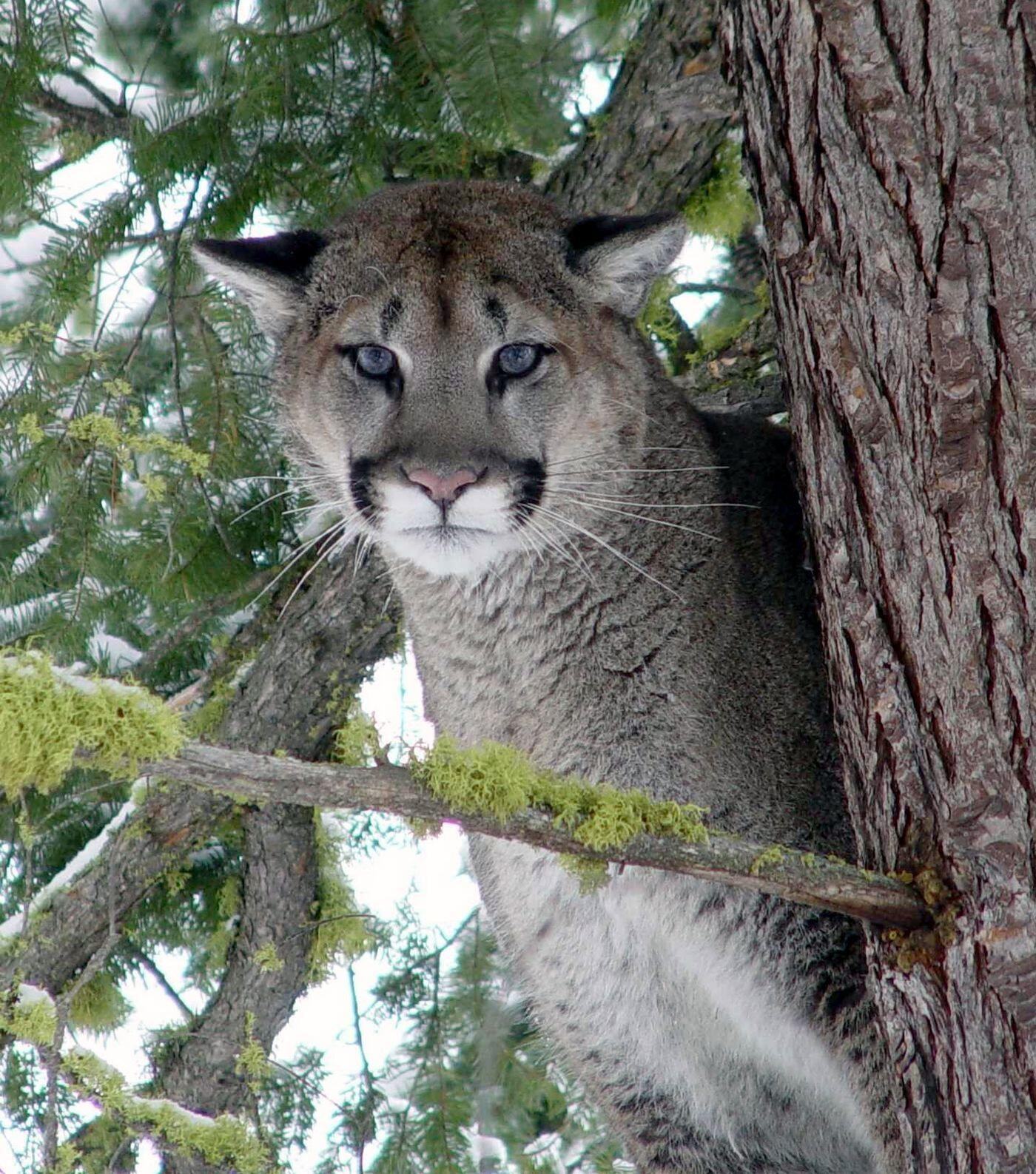 Zion Cougar, photo by Washington Fish and Wildlife, at http://oregonstate.edu/dept/ncs/photos.html#act