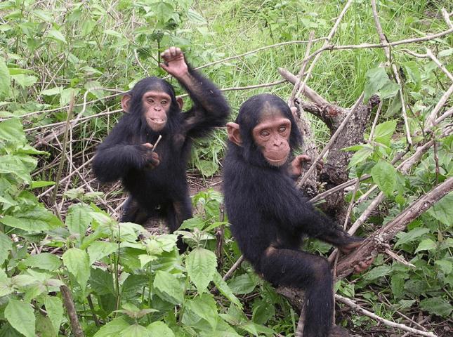 Chimpanzees, Wikimedia Commons