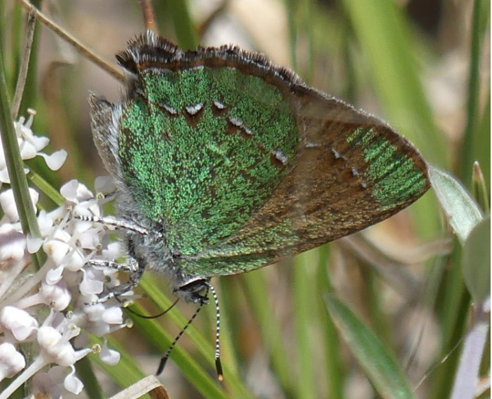 Bramble Hairstreak (Callophrys affinis) nectars at flowers of Fendler's Buckbrush (Ceanthus fendleri) in the Zuni Mountains of Cibola County, NM. (Photo by S.J. Cary, taken on May 29, 2020.