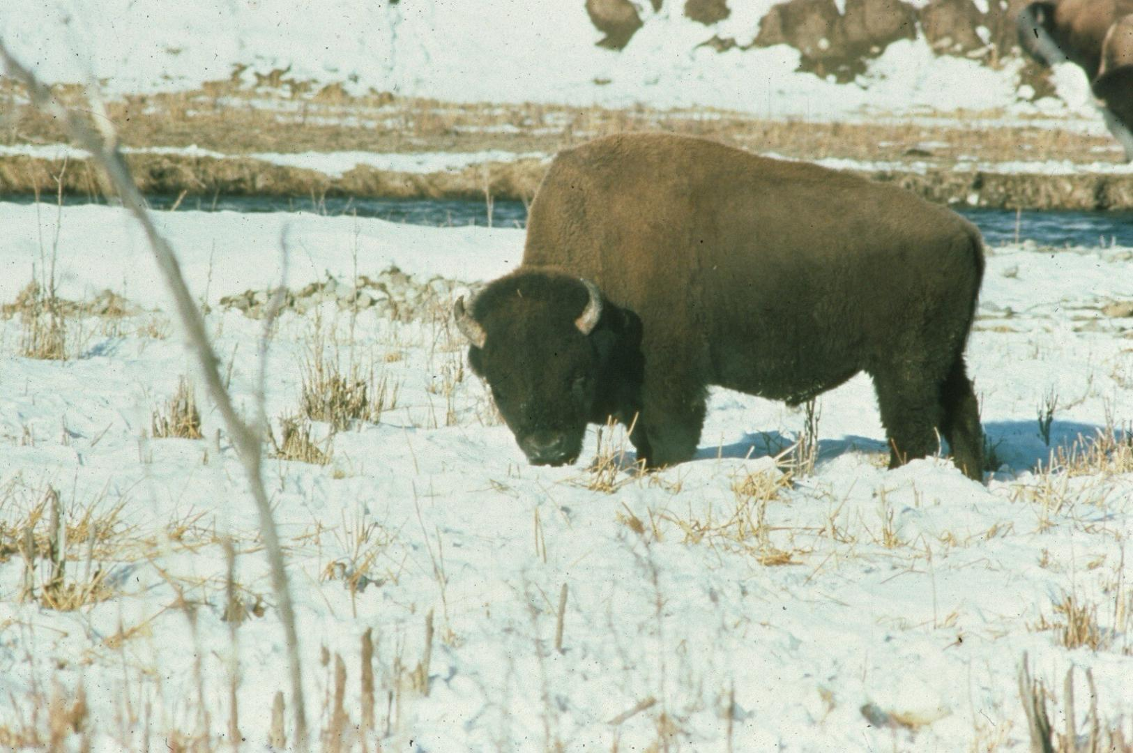 Powerful juggernaut of the North American Plains, a prime bull bison finds forage to survive another day...another week... another winter in Yellowstone National Park © University of Idaho and the American Ecological Research Institute (—AERIE)