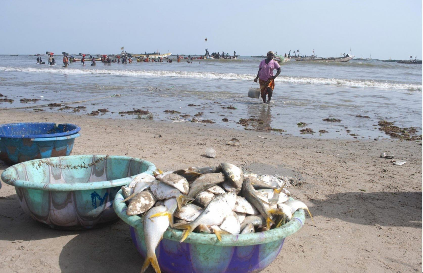 Small fish like these, caught by local artisanal fishers, are a vital source of protein for all Gambians, both on the coast and inland (Image: Mustapha Manneh / China Dialogue)