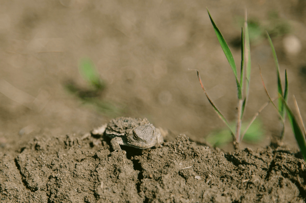 Plains Spadefoot Toad: While nearly all of the charismatic megafauna of the Great Plains has been lost, life still abounds on a much smaller scale © Joel Caldwell
