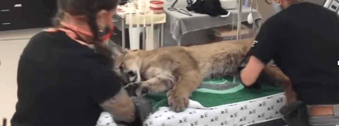 San Francisco lion Oakland Zoo checkup