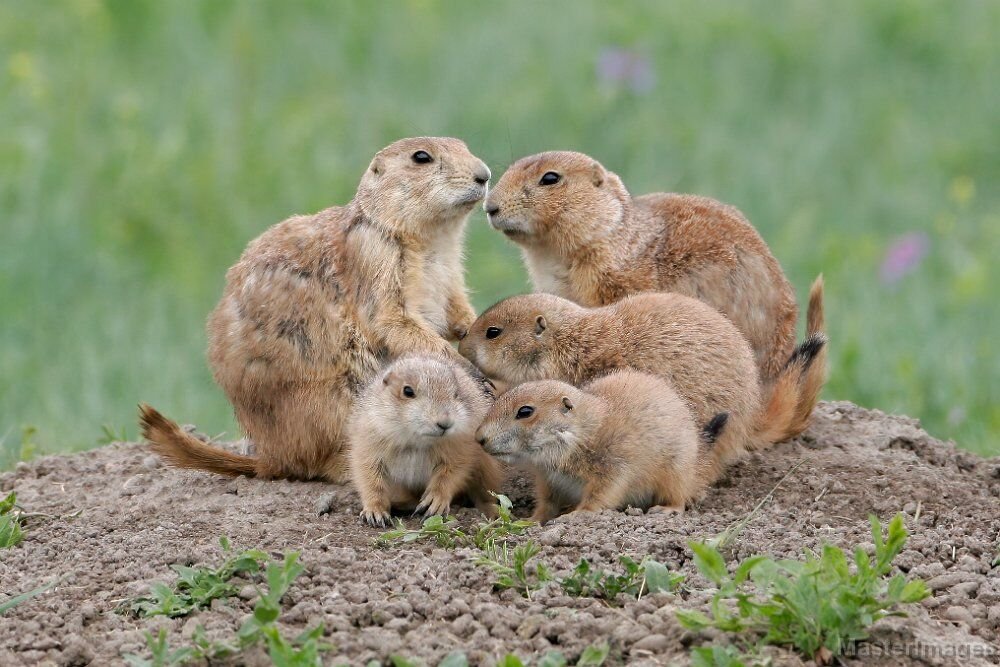 Black-tailed Prairie Dog (Cynomys ludovicianus) (c) Larry Master, masterimages.org