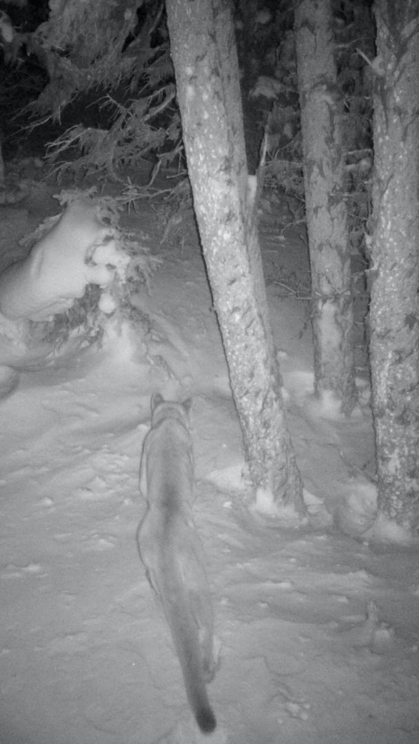 Cougar (Photo (c) Woodland Park Zoo)