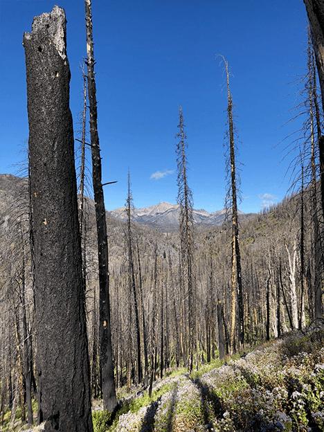 Pasayten Wilderness trees