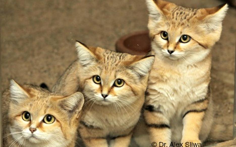 Sand cats © Dr. Alex Silwak for ISEC