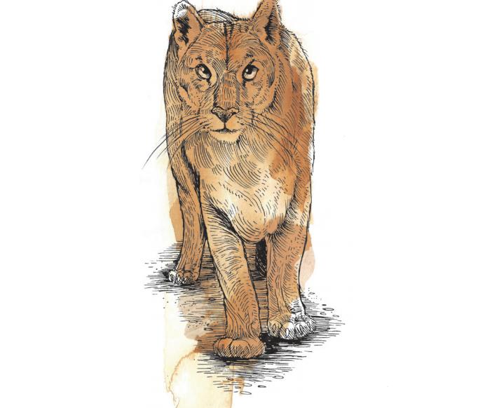 Cougar (c) Jeremy Collins