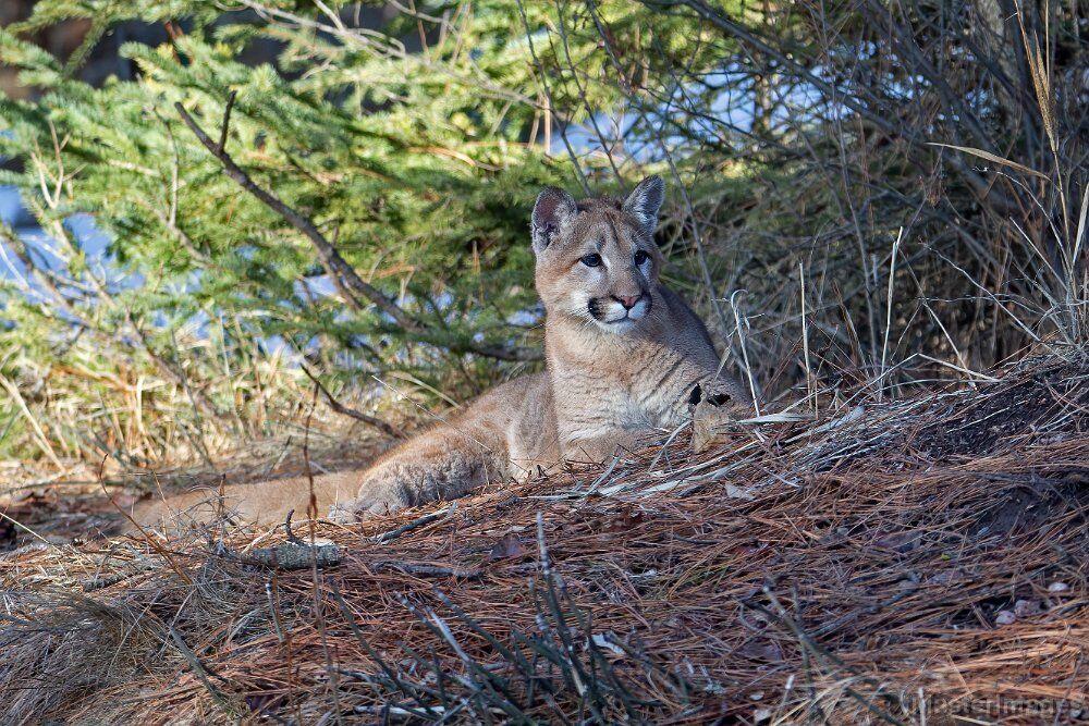 Cougar (Puma concolor) - captive