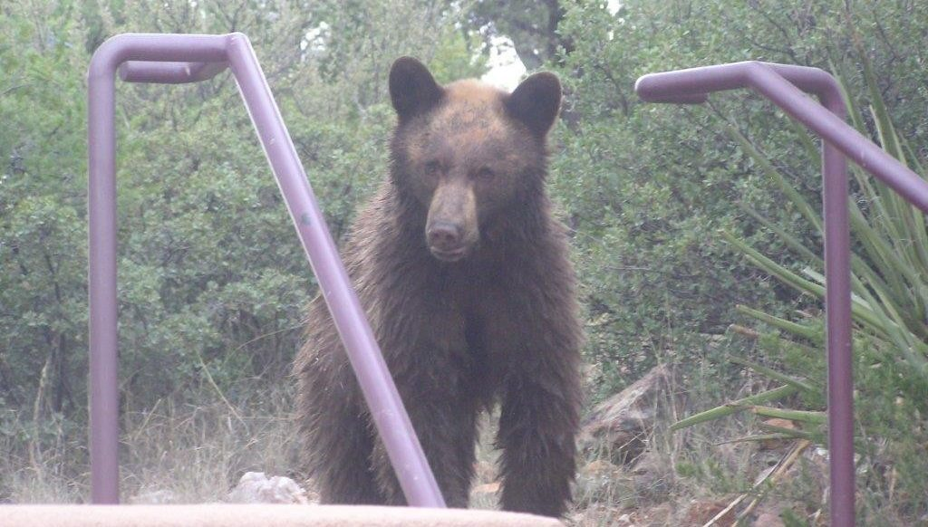Cinnamon-colored black bear at the top of stairs