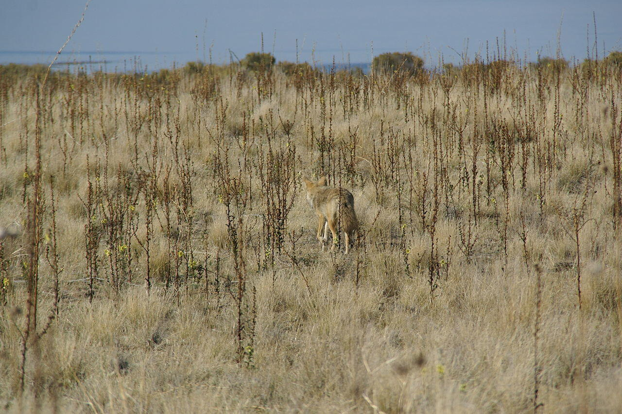 Coyote (Canis latrans mearnsi) in Antelope Island, Great Salt Lake, Utah, USA