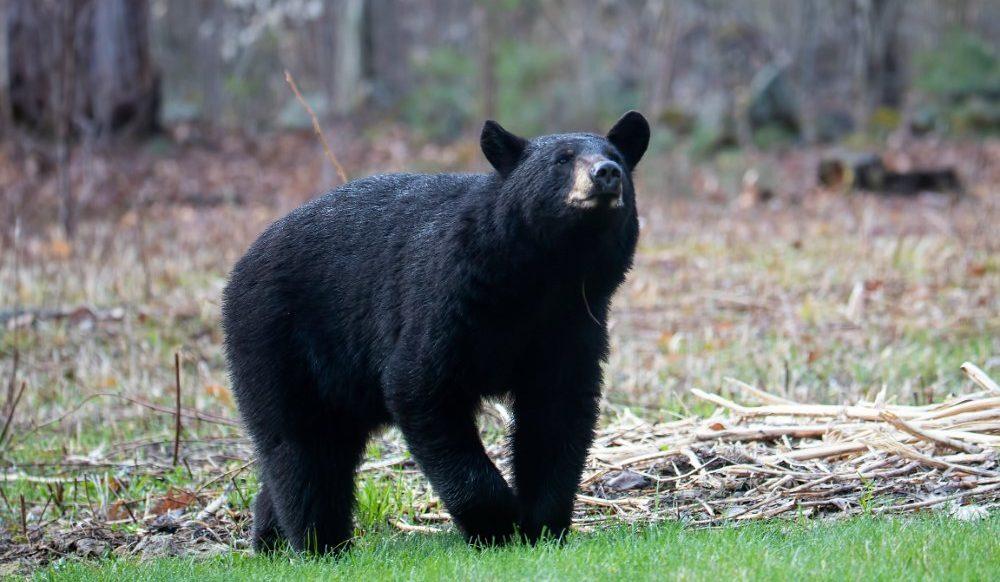 American Black Bear (c) Larry Master, masterimages.org