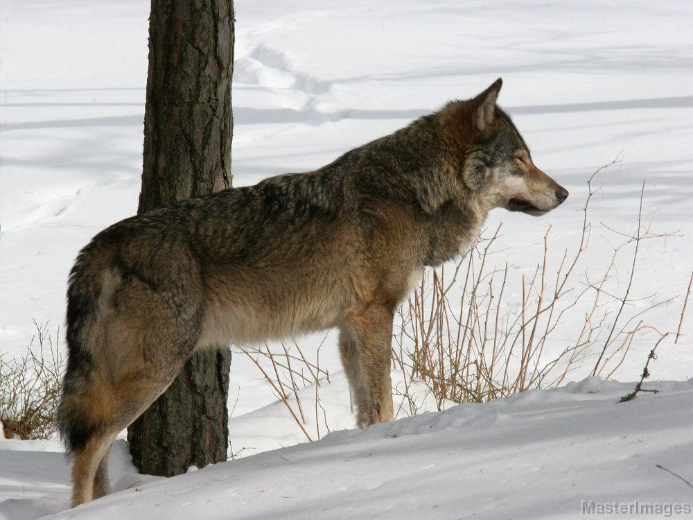 Gray Wolf by Larry Master