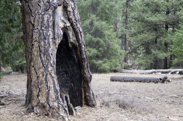 Fire scared ponderosa pine, Metolius River, Deschutes NF, Oregon (c) George Wuerthner