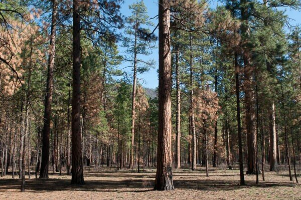Ponderosa pine prescribed burn, Deschutes NF, Oregon (c) George Wuerthner