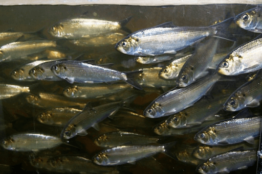 Alewives returning by the millions after the removal of the Edwards and Ft. Halifax dams were removed from the Kennebec River of Maine.