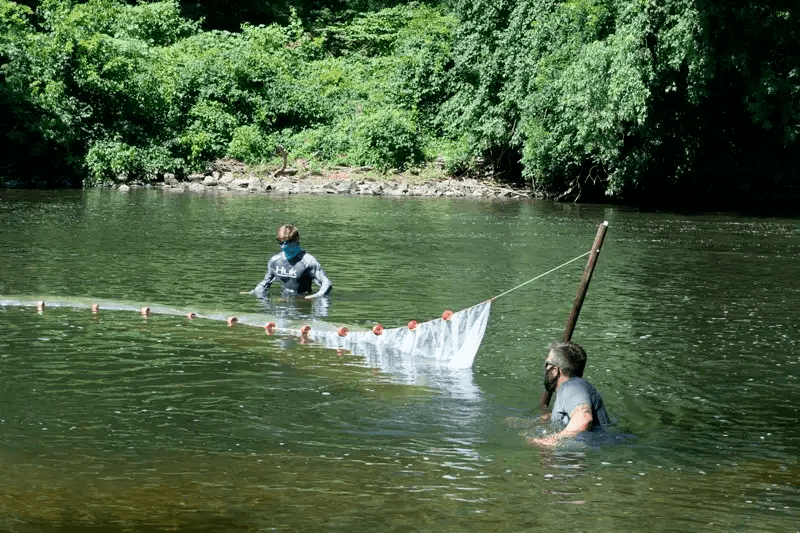 Aquaculture and fisheries specialists pull a seine net through the Brandywine Creek monitoring shad migration.