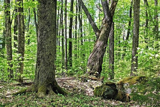 Bramhall mature forest