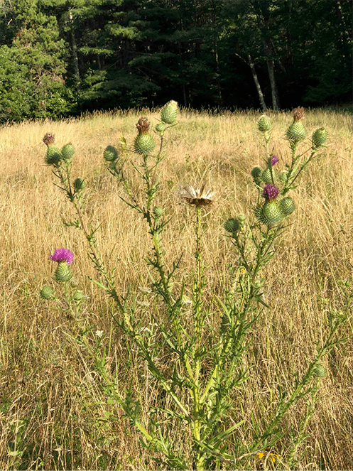 Queen Anne's lace, black-eyed Susan, thistle