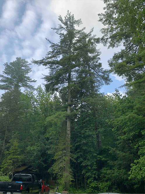 A&W pines