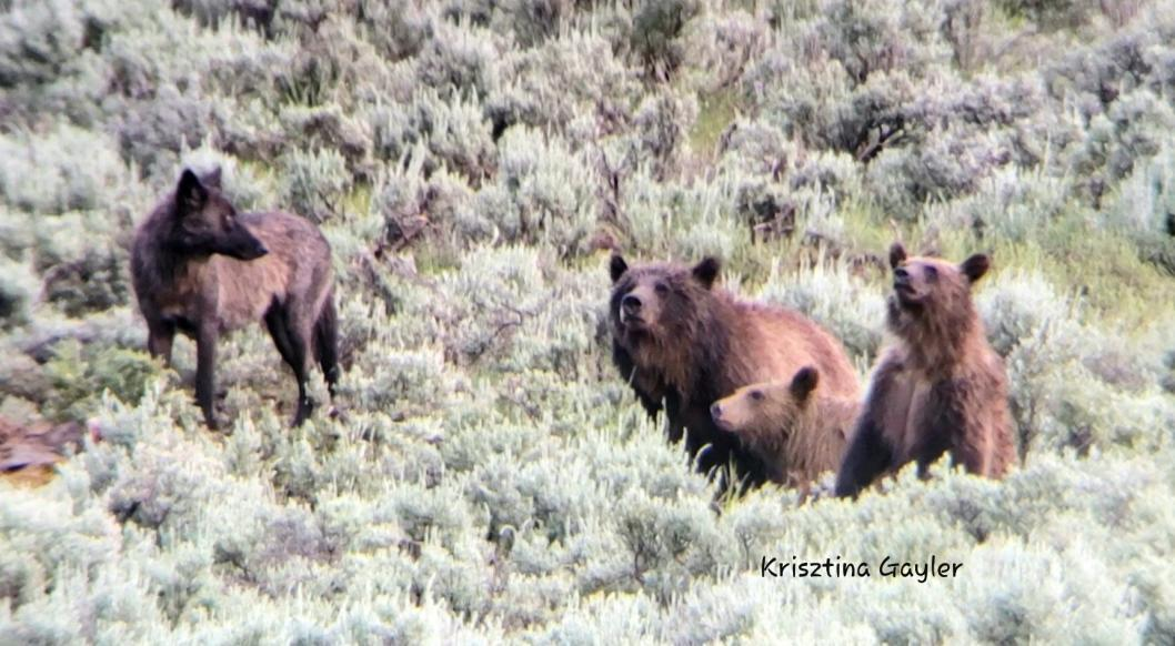 Grizzly and cubs with Wolf (c) Krisztina Gayler