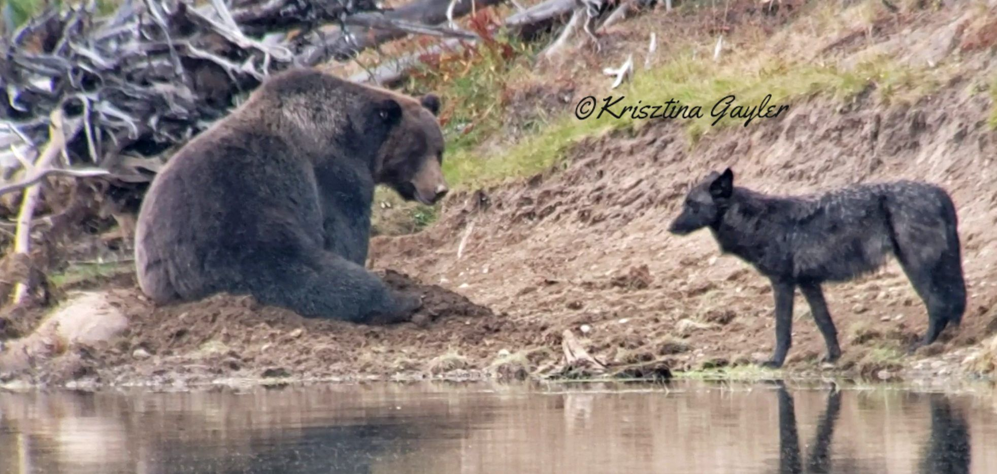 Grizzly and Black Wolf (c) Krisztina Gayler