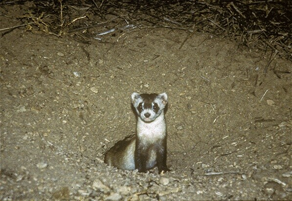 Luna, Black-Footed Ferret. (c) Dave Foreman