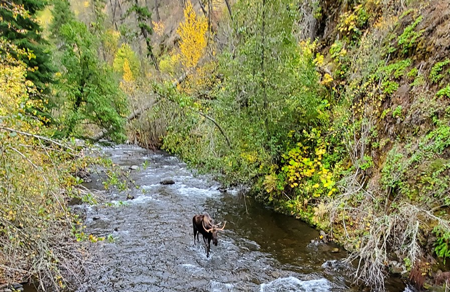 A moose using and enjoying the South Fork Umatilla River, part of the proposed Umatilla Headwaters Wild and Scenic River. Source: Forest Service.