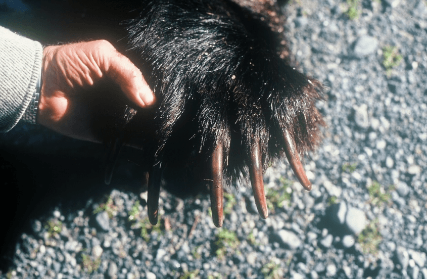 Human hand and brown bear paw and claws