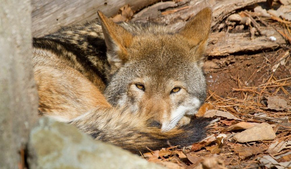 Red Wolf (Canis rufus) by Larry Master