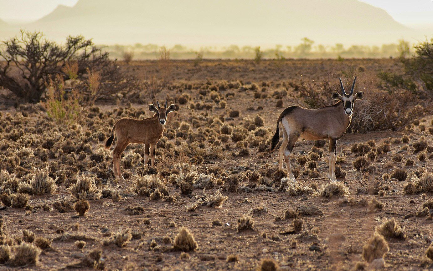 Young oryx in the dry season, June to November.