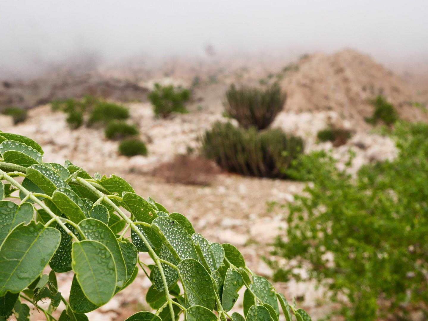 Plants collect moisture from low clouds to survive during drought.