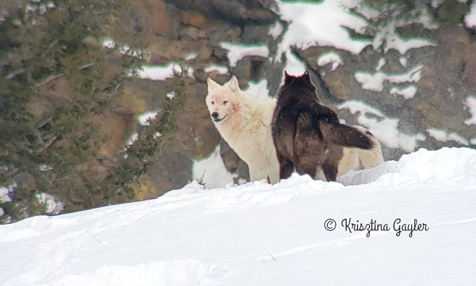 Wolf Breeding Season