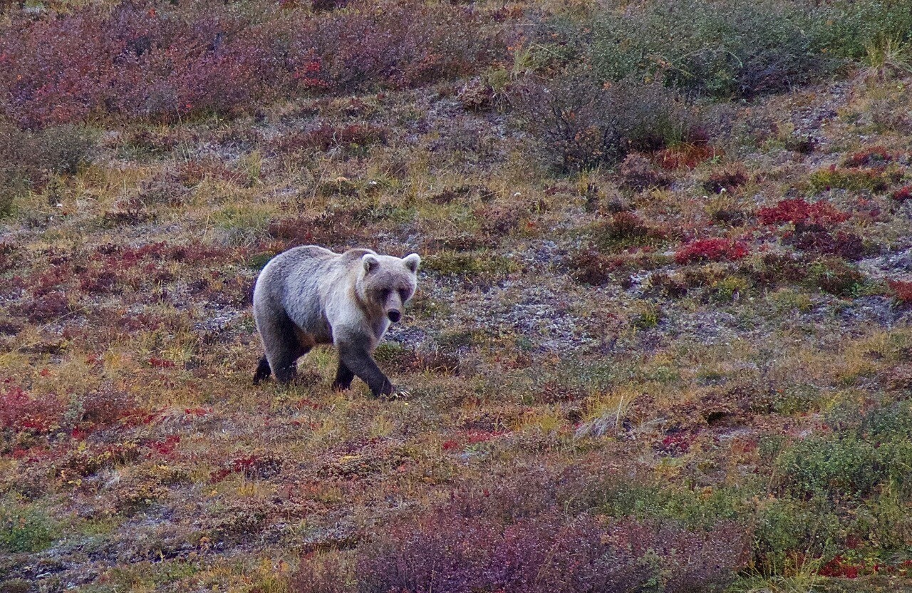 Grizzly Bear in Arctic National Wildlife Refuge