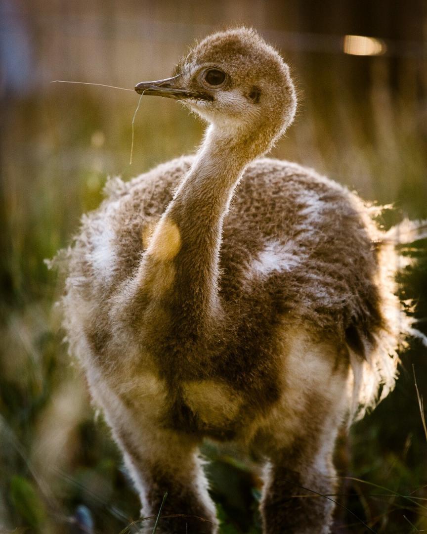 Darwin's rheas chick
